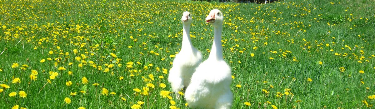 The Happy Goose Farm Blog